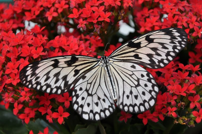 black and white butterfly on red flowers representing my changing desires